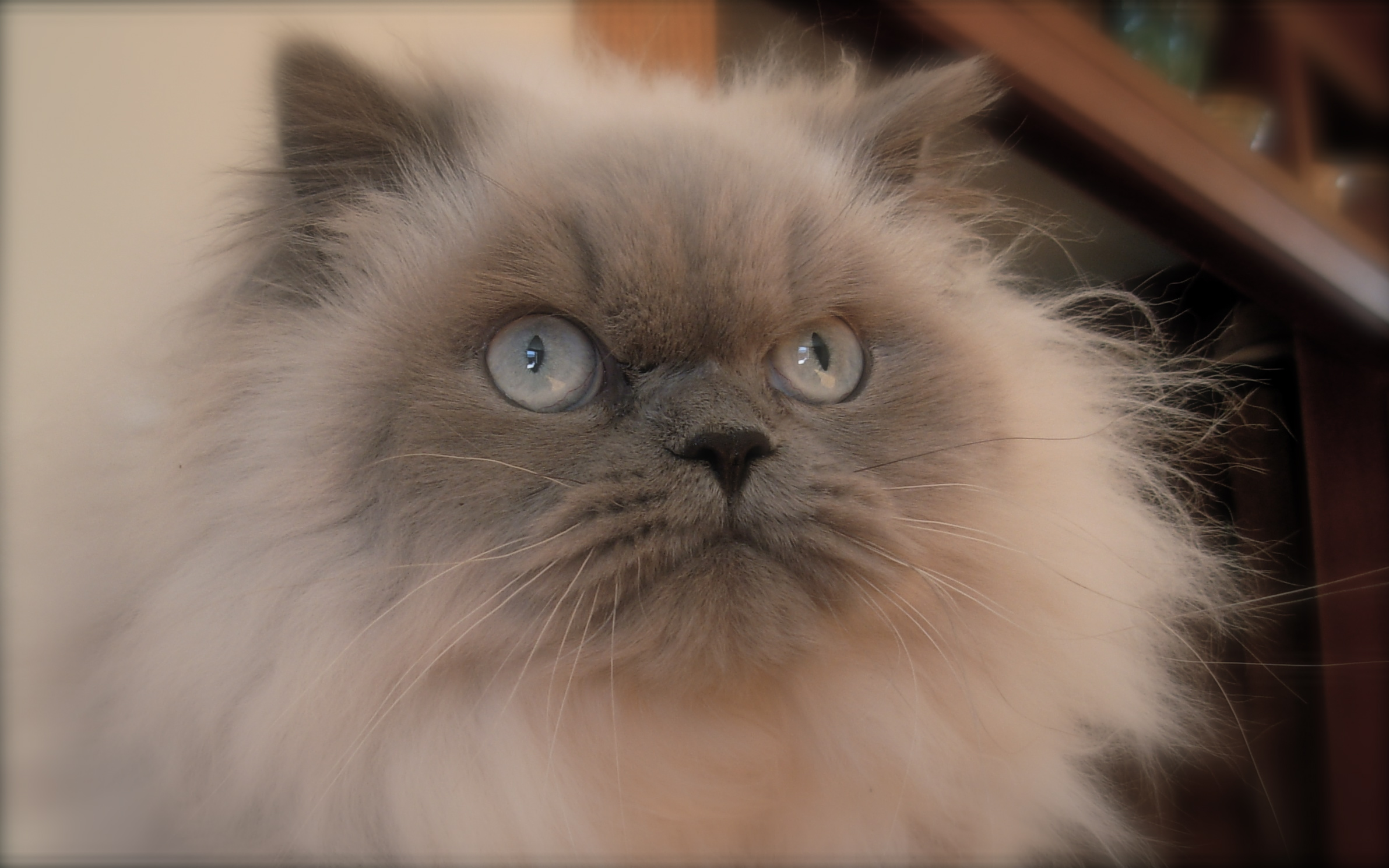 Seal point doll face himalayan cats